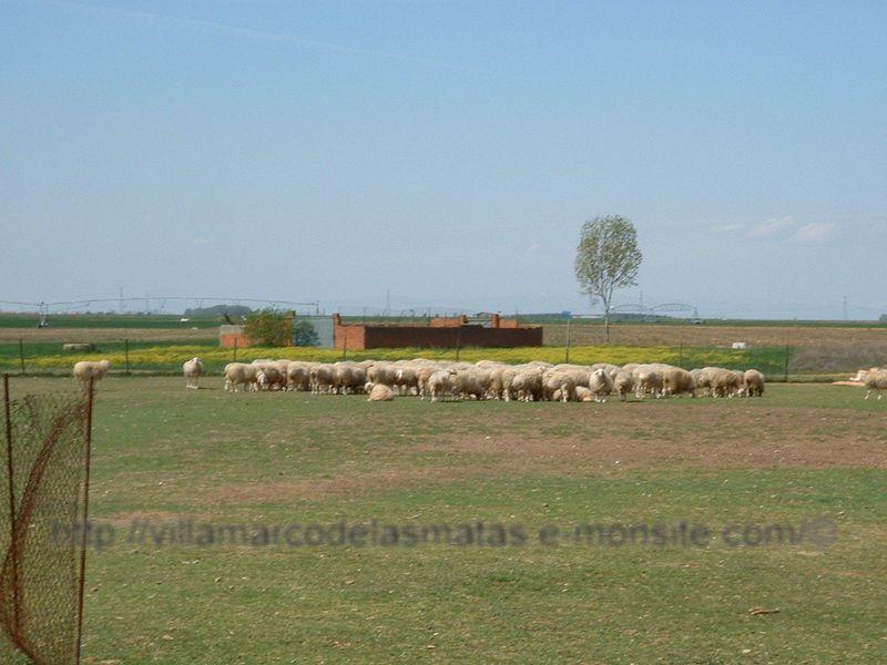 ovejas-pastando